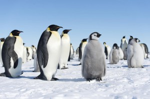penguins standing on snow